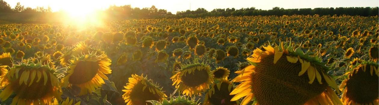 cropped-sunflower-strip1.jpg